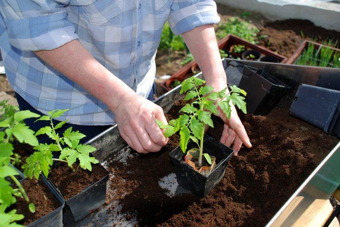 Посадка томатов в грунт