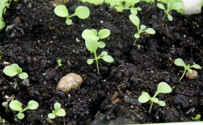 Проросшие семена петунии