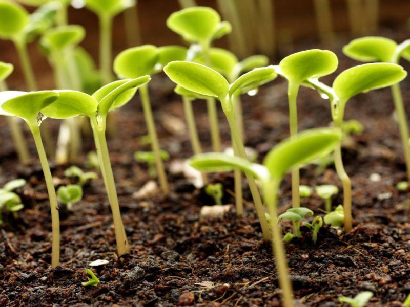 Перец: какой срок годности у семян сладкого и горького перца