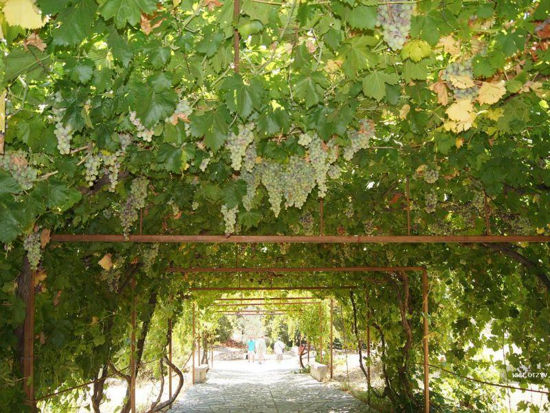 Как высадить черенки винограда весной