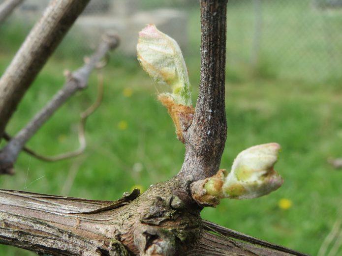 Почки на виноградной ветви