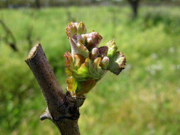 Распустившаяся почка винограда