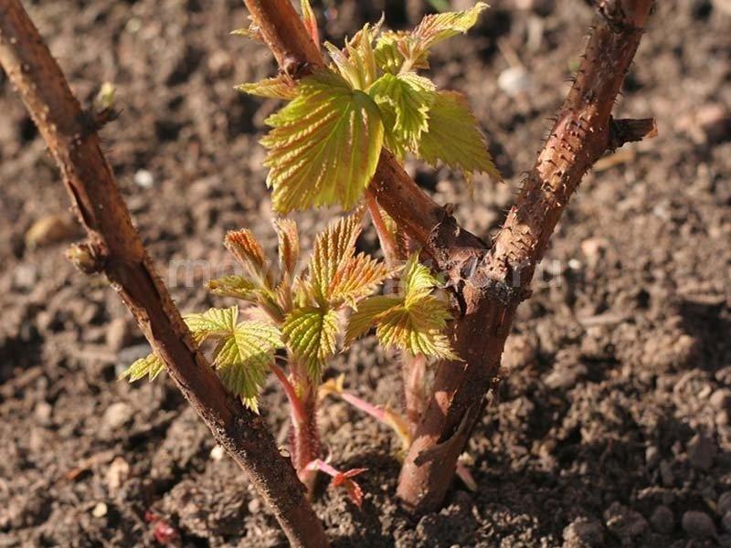 Когда весной открывать виноград, чтобы получить богатый урожай в новом сезоне