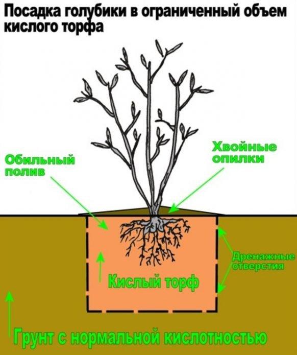 Правильное устройство посадочной ямы для голубики