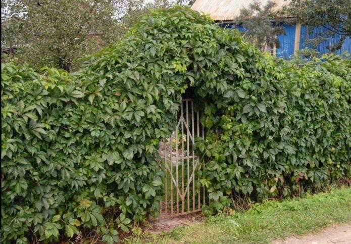 Забор из девичьего винограда