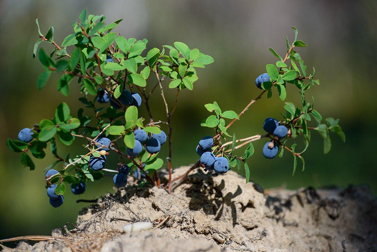 нашем списке куст лесной черники фото отлично