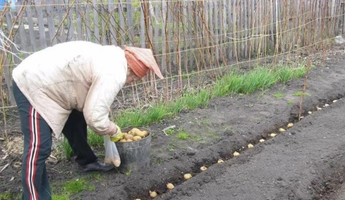 Высадка картошки клубнями