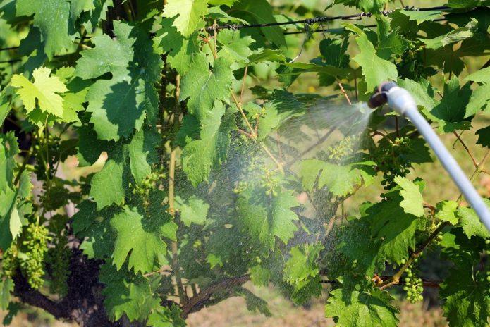 Опрыскивание листьев винограда раствором перекиси водорода