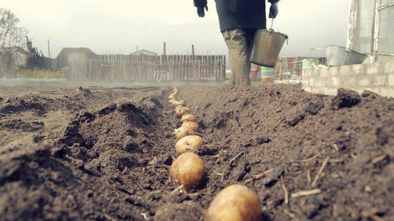 Посадка картофеля в мае 2019 года: сроки и основные работы