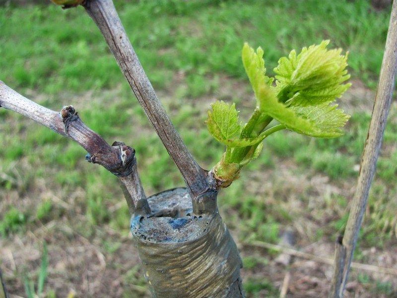 Прививка винограда весной: сроки и основные этапы работ
