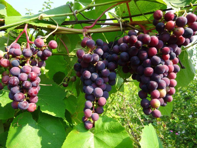 Пересадка винограда весной на новое место: главные нюансы