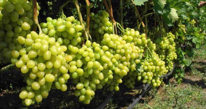 Первый урожай пересаженного когда-то винограда