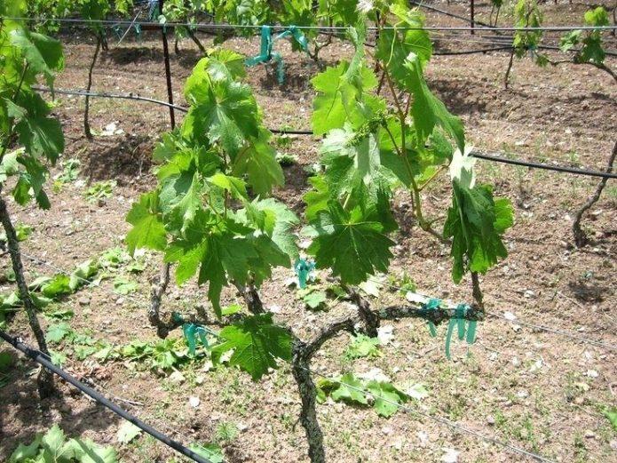 Весенняя пересадка винограда