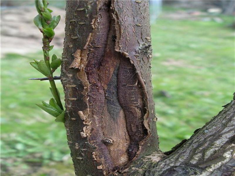 Почему трескаются деревья весной: причины и методы лечения