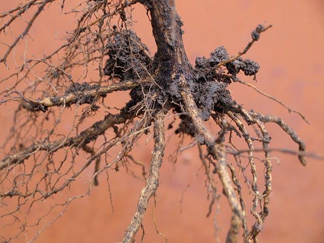 Здоровые корни саженца винограда