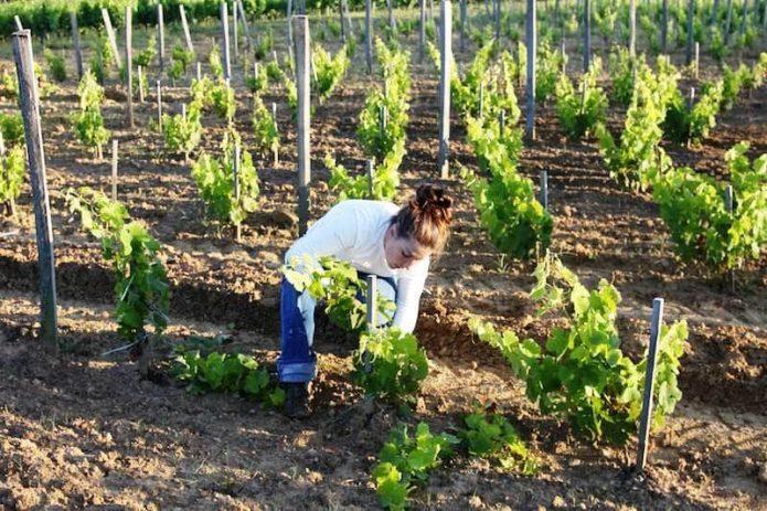 Подвязывание виноградных саженцев