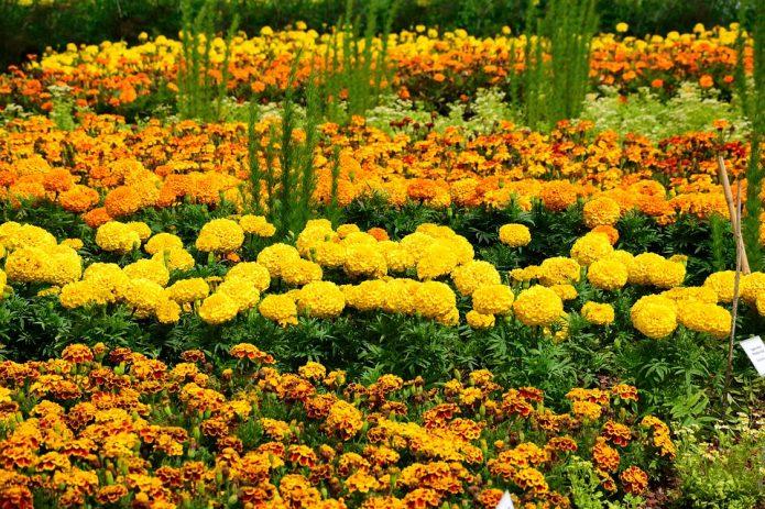 Сочетание цветов в клумбе на даче