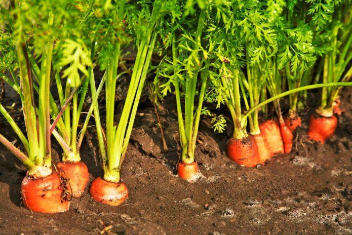 Первый урожай моркови