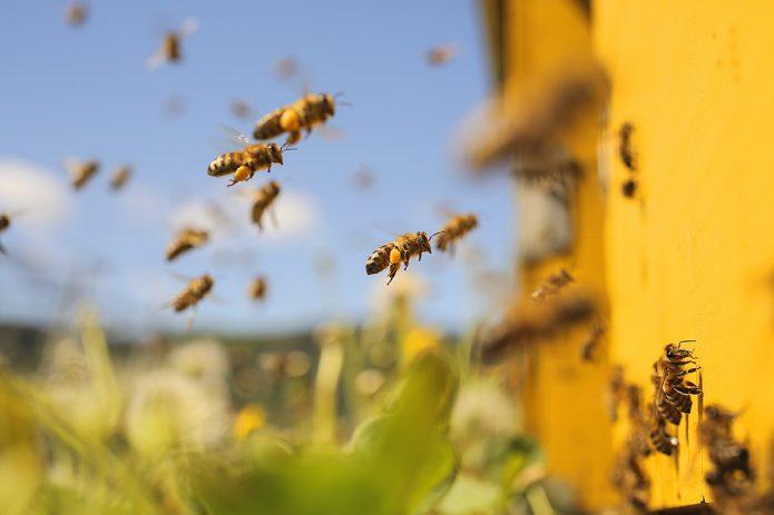 Пчёлы на пасеке