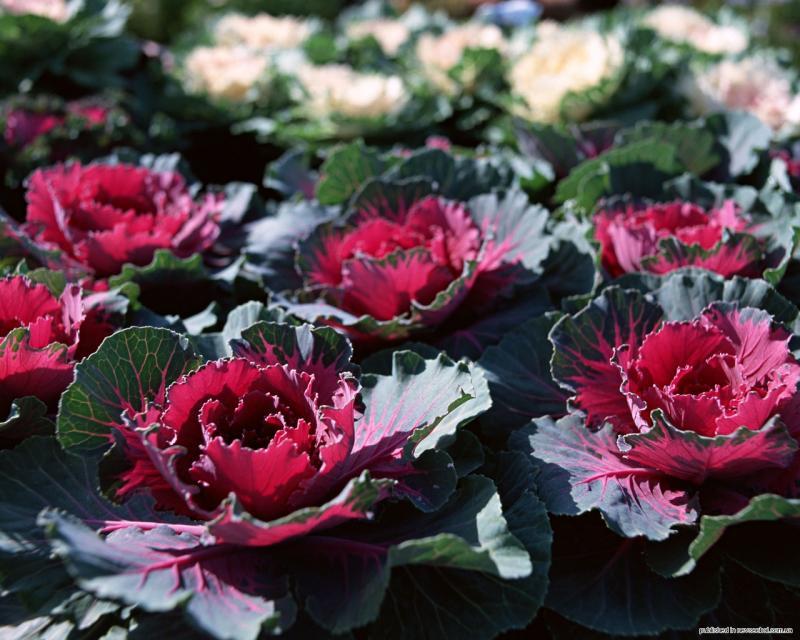 Декоративная капуста — осенняя королева цветочного бала