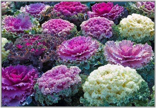 Цветущая декоративная капуста