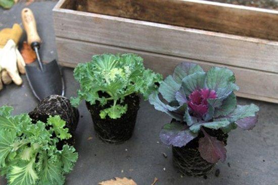 Пересадка декоративной капусты
