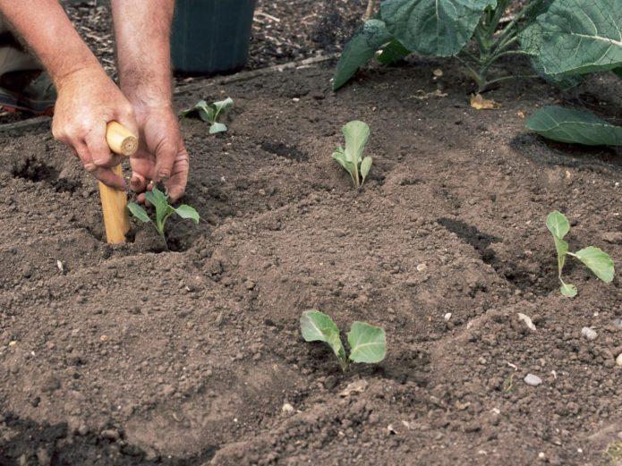 Пересадка декоративной капусты в открытый грунт