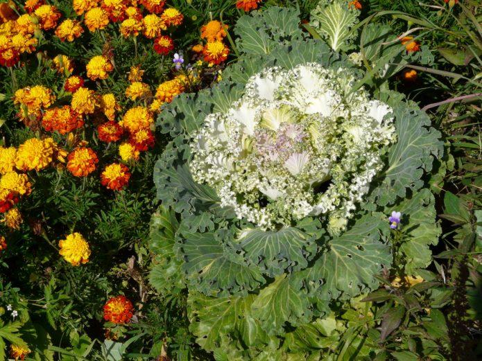 Бархатцы рядом с декоративной капустой