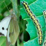 Бабочка-белянка и её гусеницы