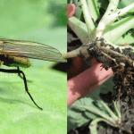 Капустная муха и растение, поражённое её личинками