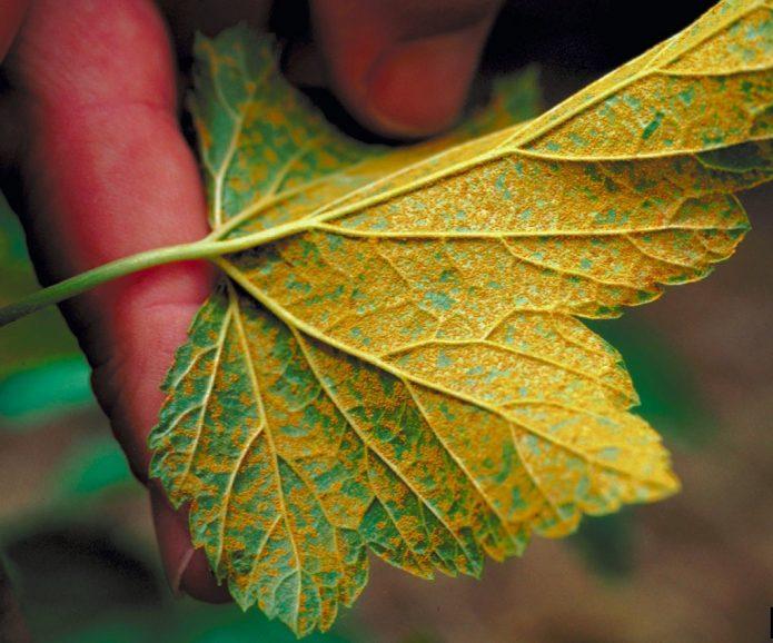 Полосатая мозаика на листе смородины