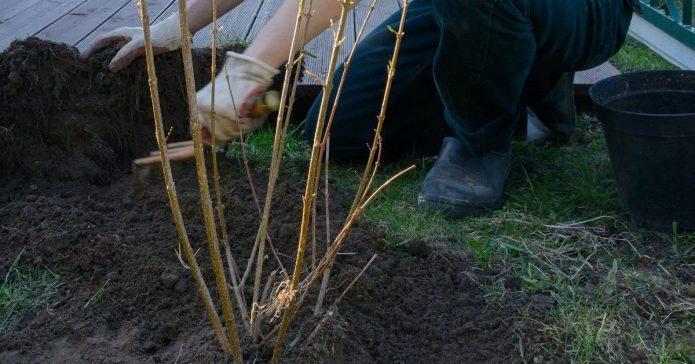 Подготовка куста смородины к зимовке