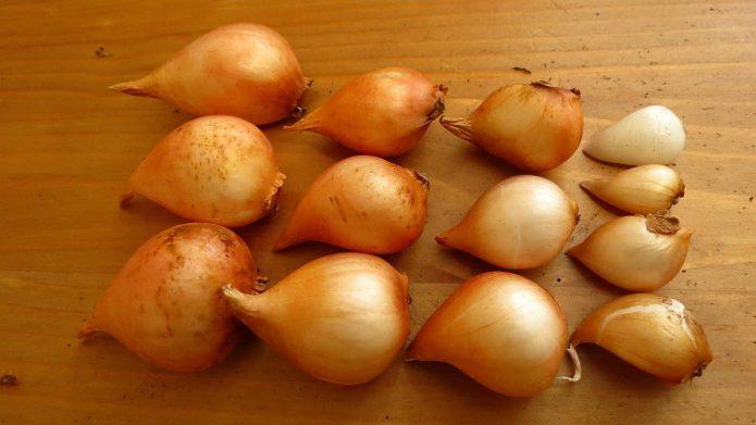 Луковицы тюльпанов на столе