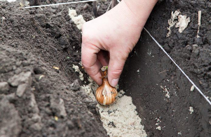 Помещают луковицу в землю, как правило, на насыпь из песка