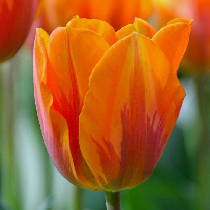 Тюльпан сорта Принцесса Ирен