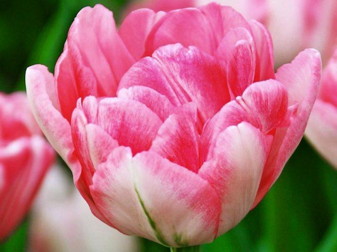 Тюльпан сорта Фокстрот