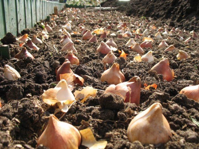 Луковицы тюльпана в земле