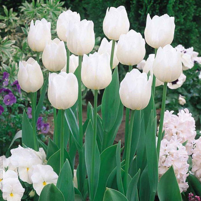 Тюльпаны сорта Уайт Принц