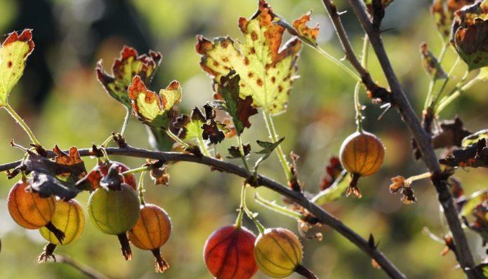 Бокальчатая ржавчина — заболевание растения