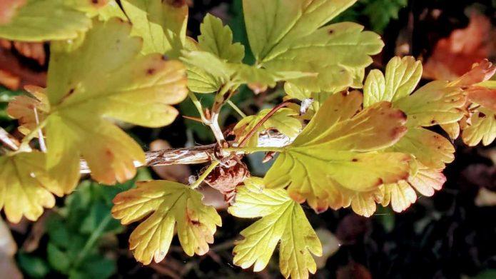 Жёлтая листва крыжовника