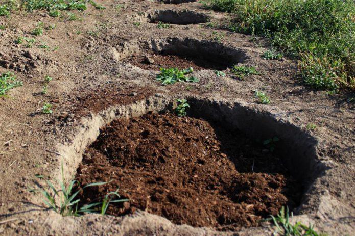 Подготовка ям для саженцев малины
