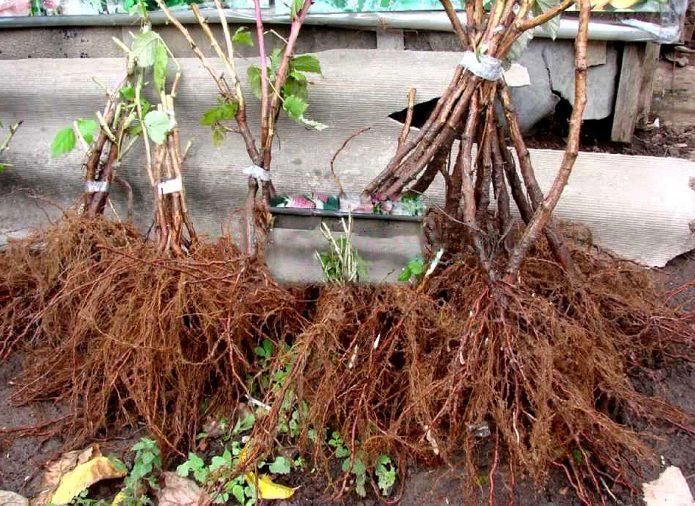 Саженцы малины с густыми корнями