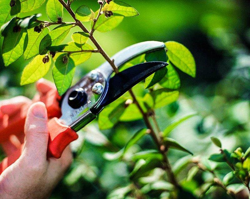 Обрезка августа 2019 года: как правильно стричь деревья и кусты