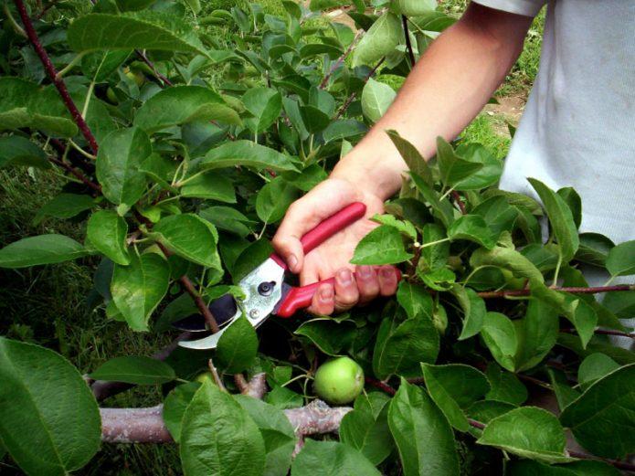 Обрезка сухих веток яблони в августе