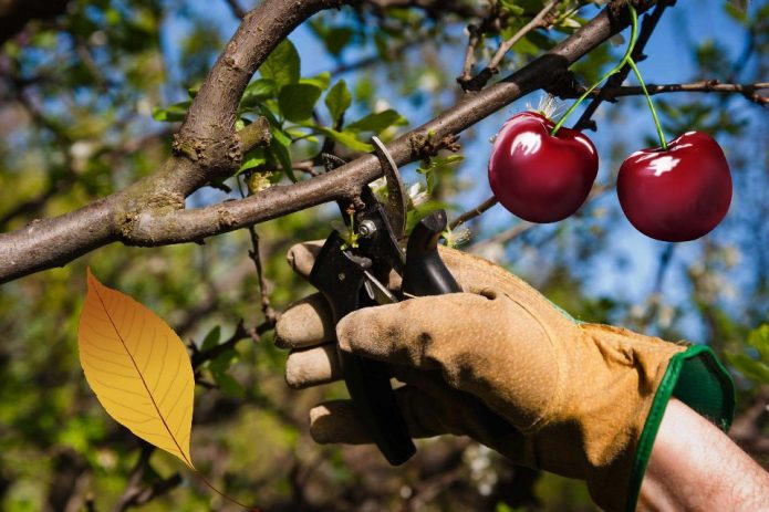 Удаление летних побегов вишни