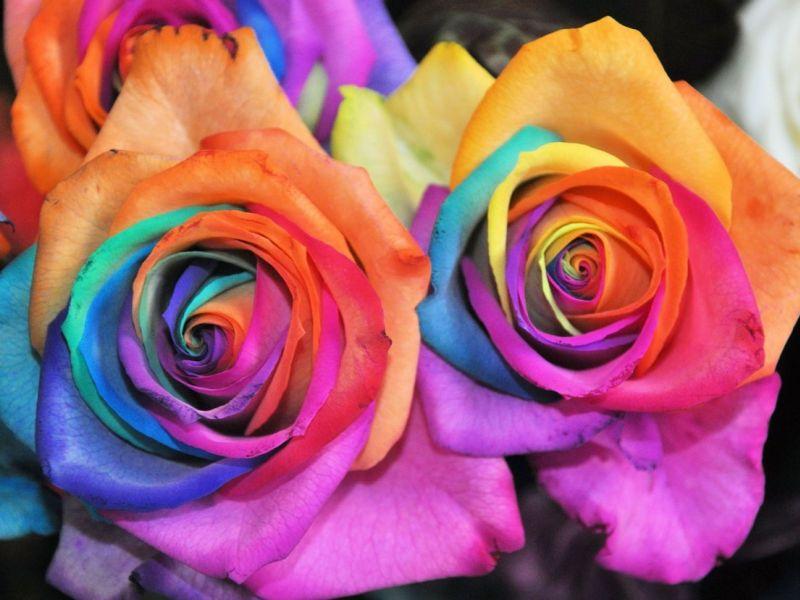 Девушкам на заметку: как влияет цвет роз на их значение?
