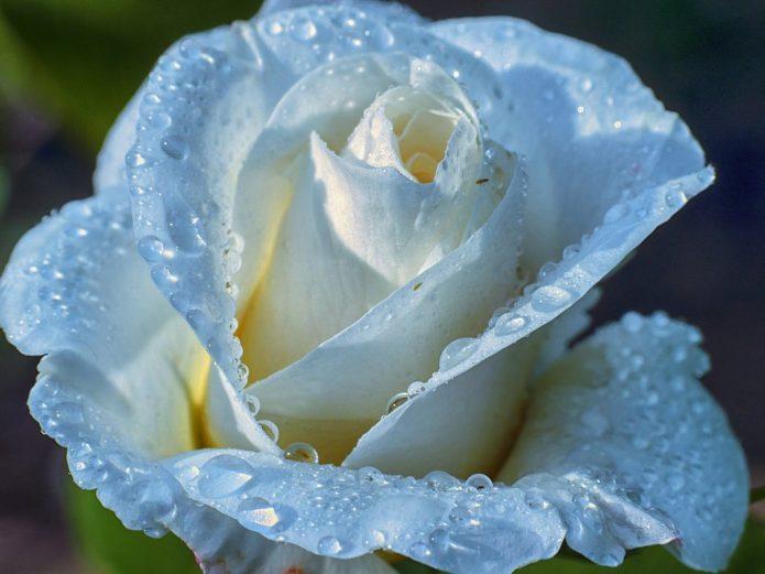 Свежий бутон белой розы