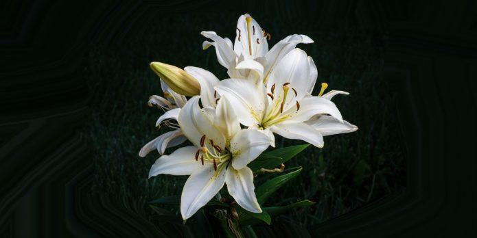 Красавицы-лилии