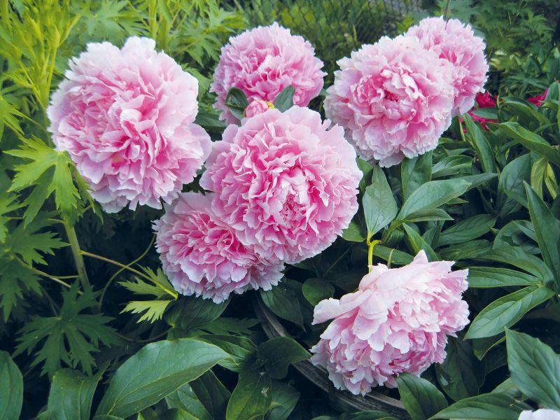 Чем подкормить пионы осенью, чтобы были крупные цветы