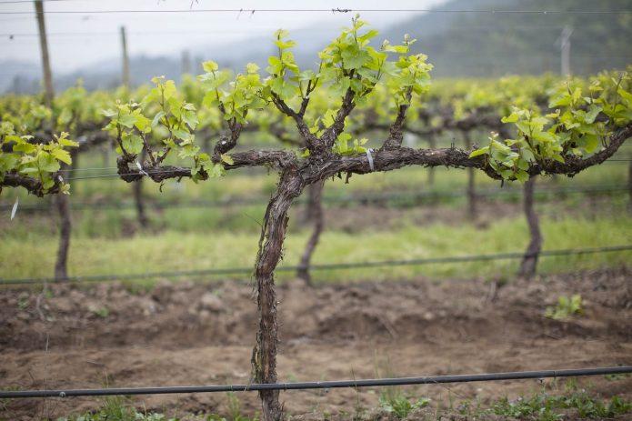 Осенняя пересадка винограда